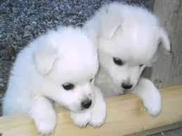 cute dogs and puppies husky. Delighful Husky Siberian Husky Puppies  Dog Breed Pictures Intended Cute Dogs And
