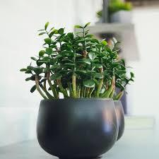 Jade Plant Houseplant