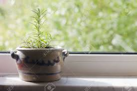 Kitchen Window Sill Rosemary In A Flower Pot Standing On A Windowsill Stock Photo