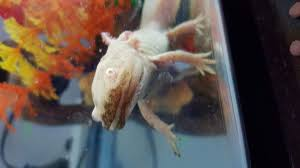 Small Picture Golden Axolotl losing color and dirty mouth and foot Caudataorg