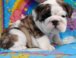 english bulldog puppies pictures