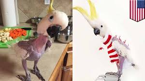 featherless parrot. Brilliant Featherless Animals Wearing Clothes Featherless Parrot In Kansas Now En Vogue With  Sweater Game  TomoNews For Parrot O