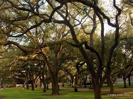 rice university campus trees. Rice University Oak Trees The Entire Campus Is Designated As An Arboretum In