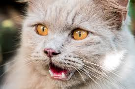 Image result for cat crying to be let out