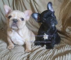 French Bulldog Colors Arlees French Bulldogs