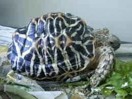 Indian Star Tortoise Diet Chart Indian Star Tortoise Geochelone Elegans Information And