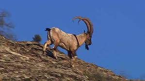 Image result for ibex