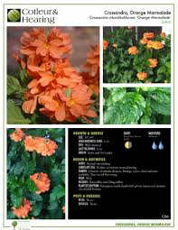 producing blooms since the summer protect orange marmalade crossandra from hard frost and freeze cuddle up with your plants and stay warm out there