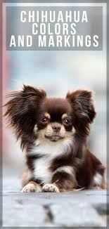 Chihuahua Color Chart Find Out More About Chihuahua Colors And Markings