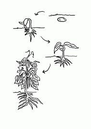 Life Cycle Of A Plant Coloring Page#415159
