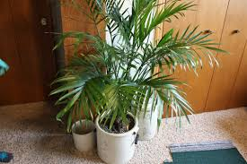 ... gone shopping at thrift stores to find the pots she used for the  planting of the sprouts left for me to treasure. And we bought and planted  a palm tree ...
