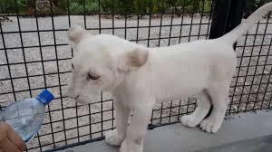 baby white cheetah. Plain Baby Cheetahs Rock Zanzibar Baby White Lion With Baby White Cheetah B