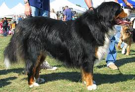 Bernese Mountain Dog Working Dog Breeds From The Online