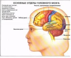 Головной мозг Ствол головного мозга и мозжечок Отделы головного мозга