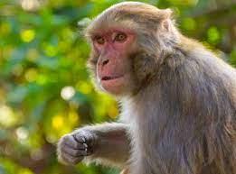 Çin'de Monkey B virüsü kaynaklı ilk ölüm