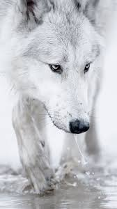 white wolf iphone wallpaper. Contemporary White Check Out This Wallpaper For Your IPhone Httpzedgenet In White Wolf Iphone Wallpaper 3
