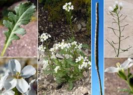 Diplotaxis erucoides (L.) DC. subsp. erucoides - Portale sulla flora ...