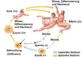 Chromosomensatz des menschen