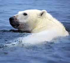 grolar bear size polar bear evolved mauka to makai