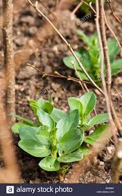 Plants For Kitchen Garden Young Broad Bean Superaguadulce Plants In The Kitchen Garden At