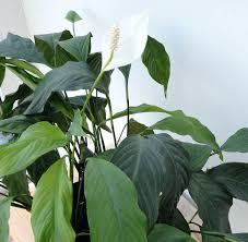 Luftreinigende Pflanzen Furs Schlafzimmer Gut Fa 1 4 Rs