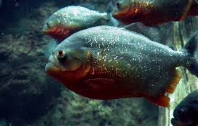 Piranha Facts Information With Pictures Video