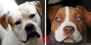 pitbull dog vs bulldog. Brilliant Dog American Bulldog Vs Pitbull With Dog Vs D