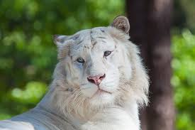 white lioness with blue eyes. Interesting Lioness White Tiger White Tiger With Blue Eyes With Lioness Blue Eyes C