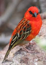 picture of red bird. Contemporary Red Red Fody With Picture Of Bird