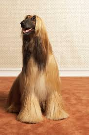 silky dog. afghan hounds are heavy shedders. silky dog i