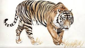color tiger drawing. Plain Tiger Tiger Colour Pencil By DMcAllister  And Color Drawing