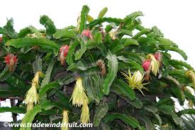 Dragon Fruit Flower ExplosionHow To Take Care Of Dragon Fruit Tree