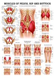 Muscles Of Buttock Hip And Pelvis Laminated Anatomy Chart