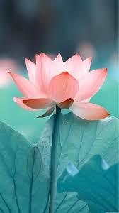 Paper Lotus Flower Lotus Flower Wall Paper Lotus Lotus Flower Images Hd Lotus