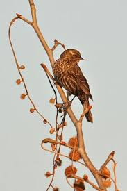 Red Winged Blackbird Pictures And Photos Photography Bird