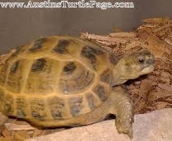 Care Sheet Russian Tortoise