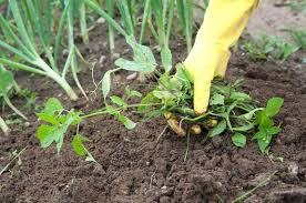 how to kill weeds in garden. weeds in garden bed best ways to get rid of organically controlling . how kill p