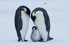 Image result for emperor penguin