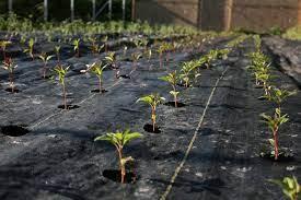 growing with landscape fabric floret