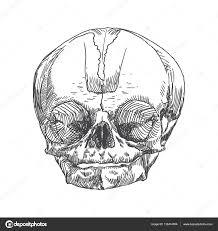 анатомический череп эскиз молодости или малыш векторное