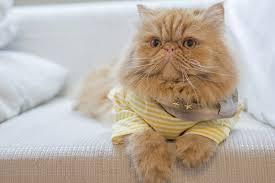 orange persian cat. Simple Orange Top Health Problems For Persian Cats _ Orange Cat In A Yellow  Striped Shirt Inside Orange Cat N
