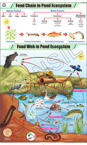Food Chain In Pond Ecosystem For General Chart