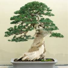 office bonsai tree. Exellent Office 10 Juniper Bonsai Tree Potted Flowers Office Purify The Air Absorb  Harmful Gases Free Shippingin From Home U0026 Garden On Aliexpresscom  Inside