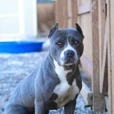 breed pitbull