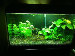 Carassius auratus omeomorfo pesce rosso acquario riproduzione