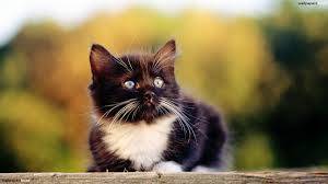 black cats with blue eyes and white paws. Contemporary Black With Black Cats Blue Eyes And White Paws E