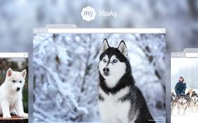 cute husky puppies with blue eyes wallpaper. Brilliant With And Cute Husky Puppies With Blue Eyes Wallpaper