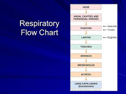 Respiratory System Flow Chart Chapter 12 Respiratory System Ppt Video Online Download