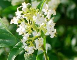 Oleaceae - Wikipedia