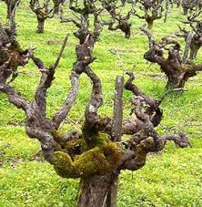 Virtual Grape Shoot Pruning Head Trained Spure Pruned